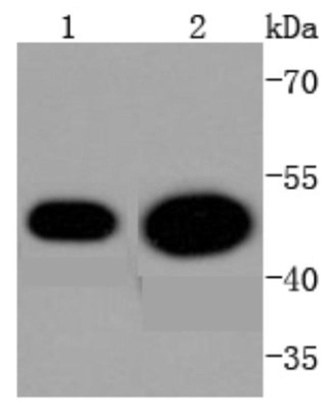CDC37 Rabbit anti-Human, Clone: SD08-50, Novus Biologicals 100µL